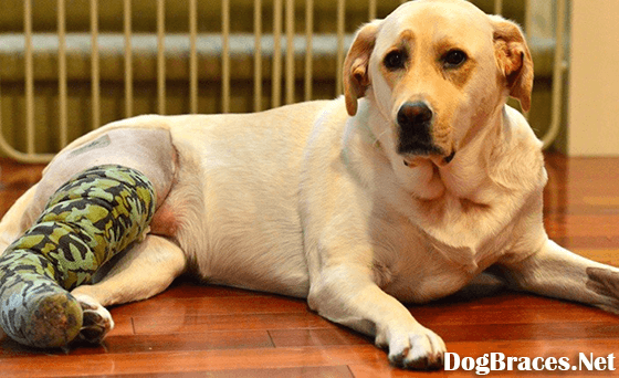 How Canine Gets Knee Injury