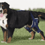 Luxating Patella Dog Brace for Knee Works Well